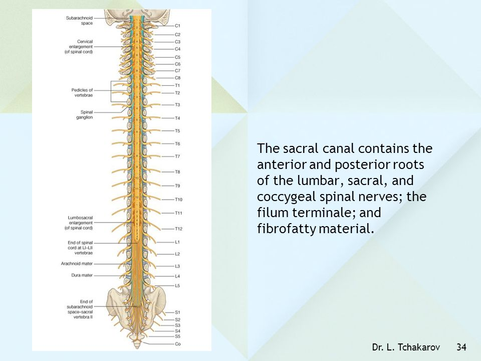 The sacral canal contains the anterior and posterior roots of the lumbar, sacral, and coccygeal spinal nerves; the filum terminale; and fibrofatty material.