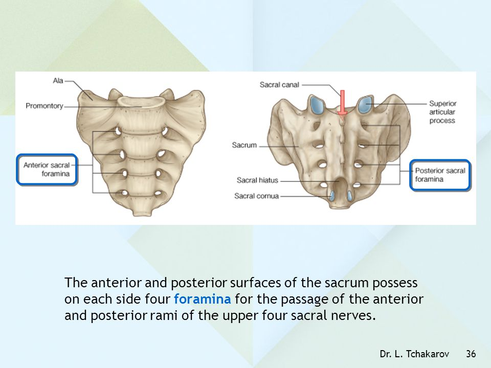 The anterior and posterior surfaces of the sacrum possess on each side four foramina for the passage of the anterior and posterior rami of the upper four sacral nerves.