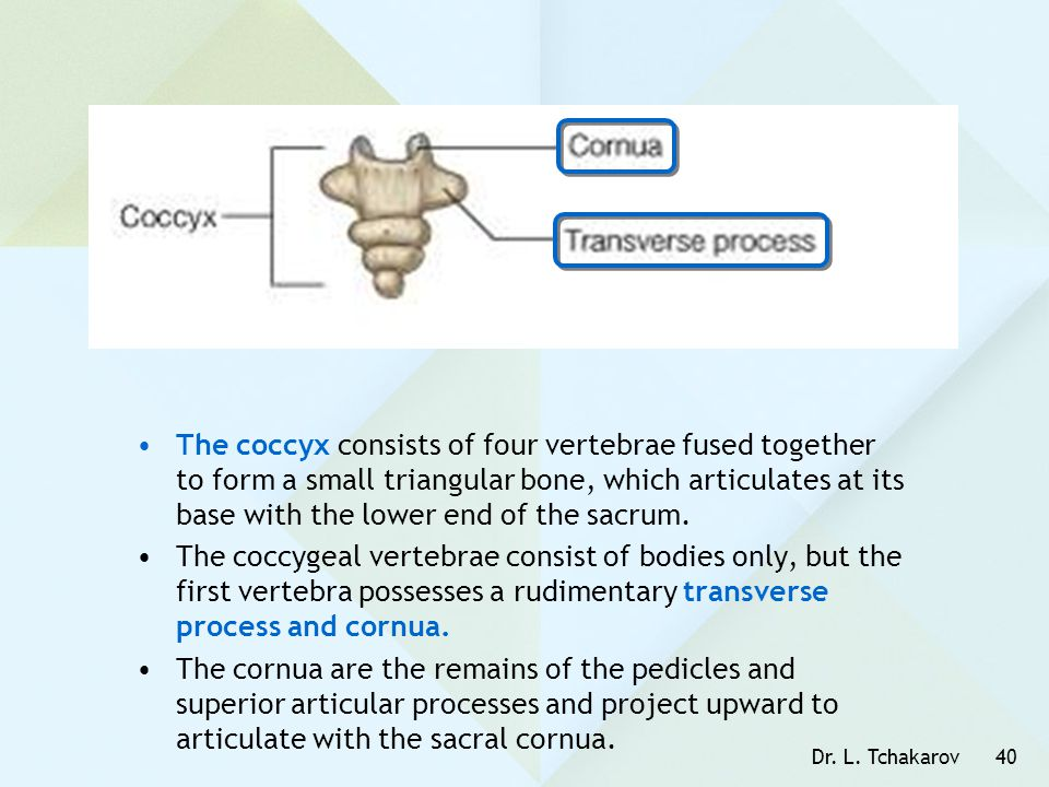 The coccyx consists of four vertebrae fused together to form a small triangular bone, which articulates at its base with the lower end of the sacrum.
