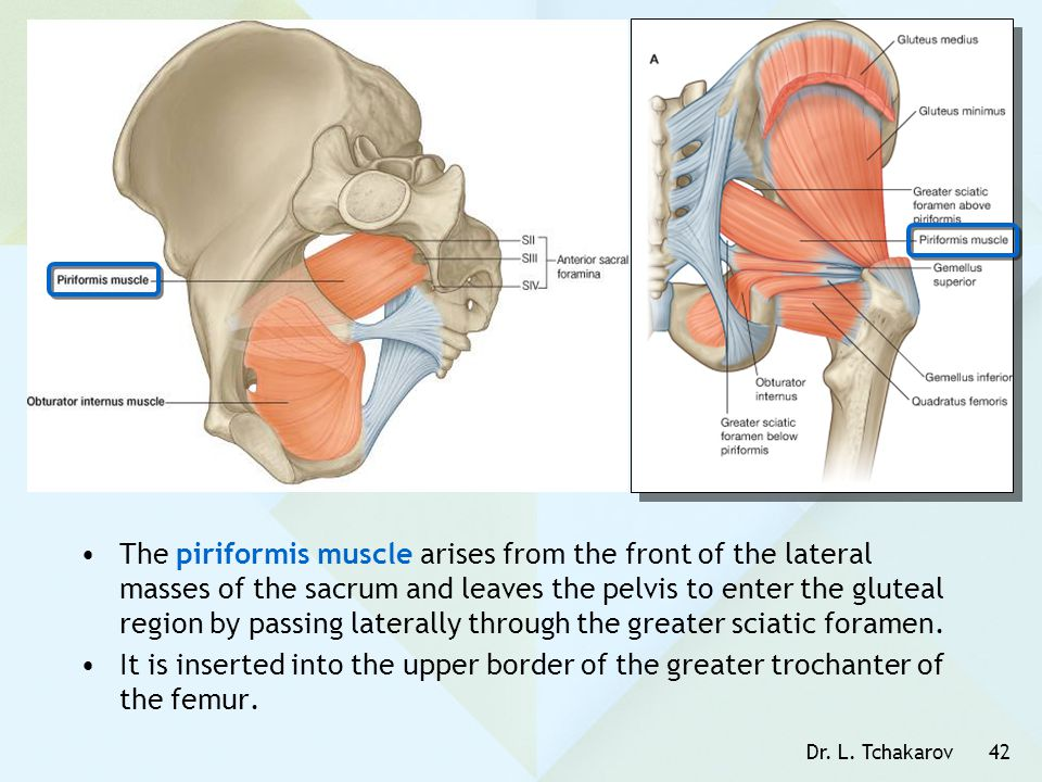 The piriformis muscle arises from the front of the lateral masses of the sacrum and leaves the pelvis to enter the gluteal region by passing laterally through the greater sciatic foramen.