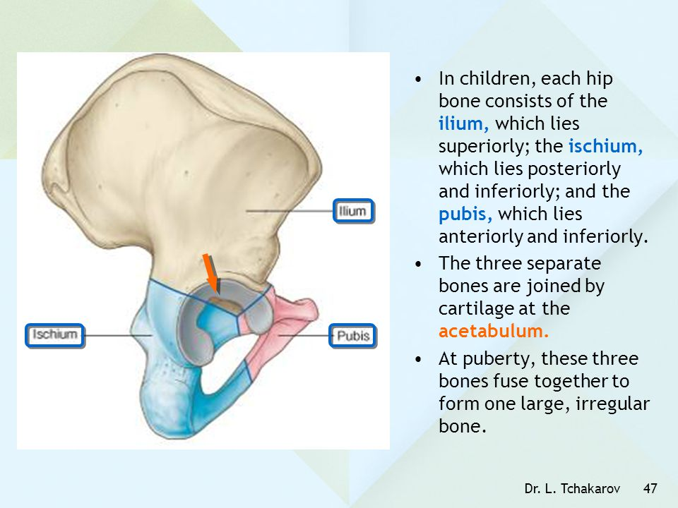 The three separate bones are joined by cartilage at the acetabulum.