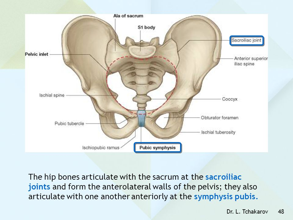 The hip bones articulate with the sacrum at the sacroiliac joints and form the anterolateral walls of the pelvis; they also articulate with one another anteriorly at the symphysis pubis.