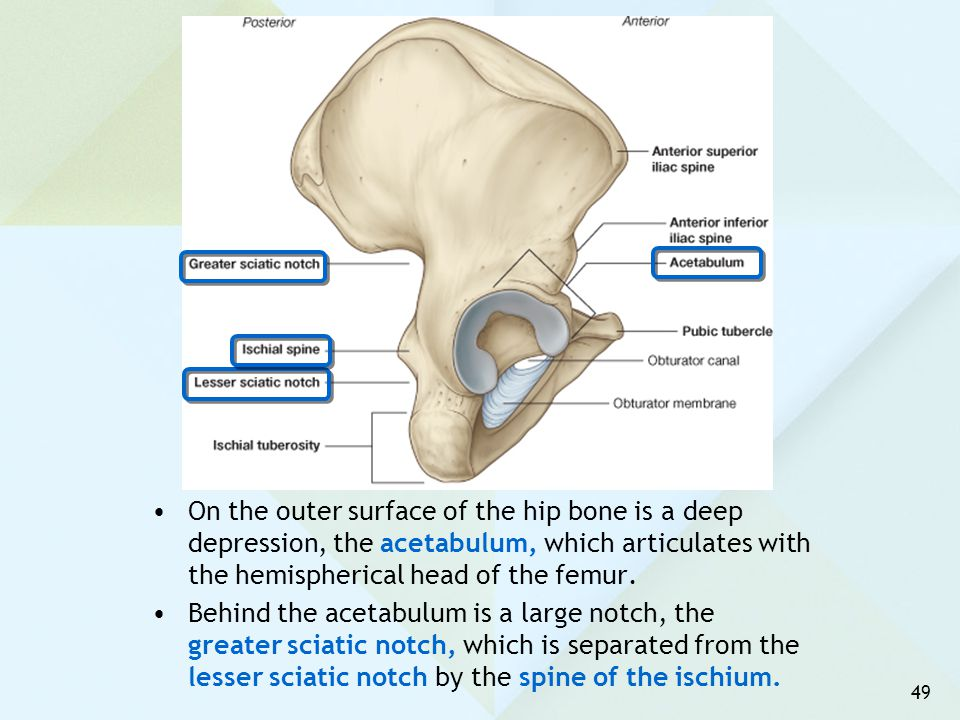 On the outer surface of the hip bone is a deep depression, the acetabulum, which articulates with the hemispherical head of the femur.
