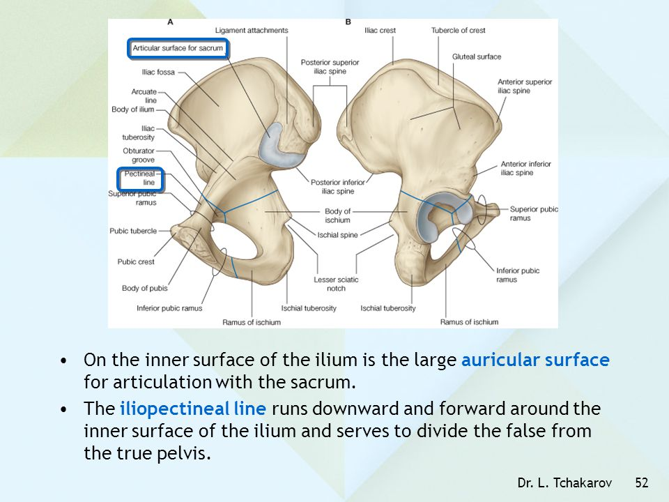 On the inner surface of the ilium is the large auricular surface for articulation with the sacrum.