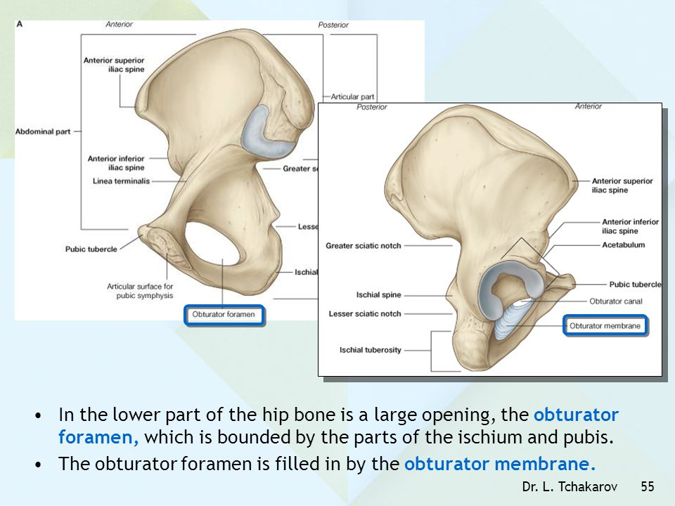 The obturator foramen is filled in by the obturator membrane.