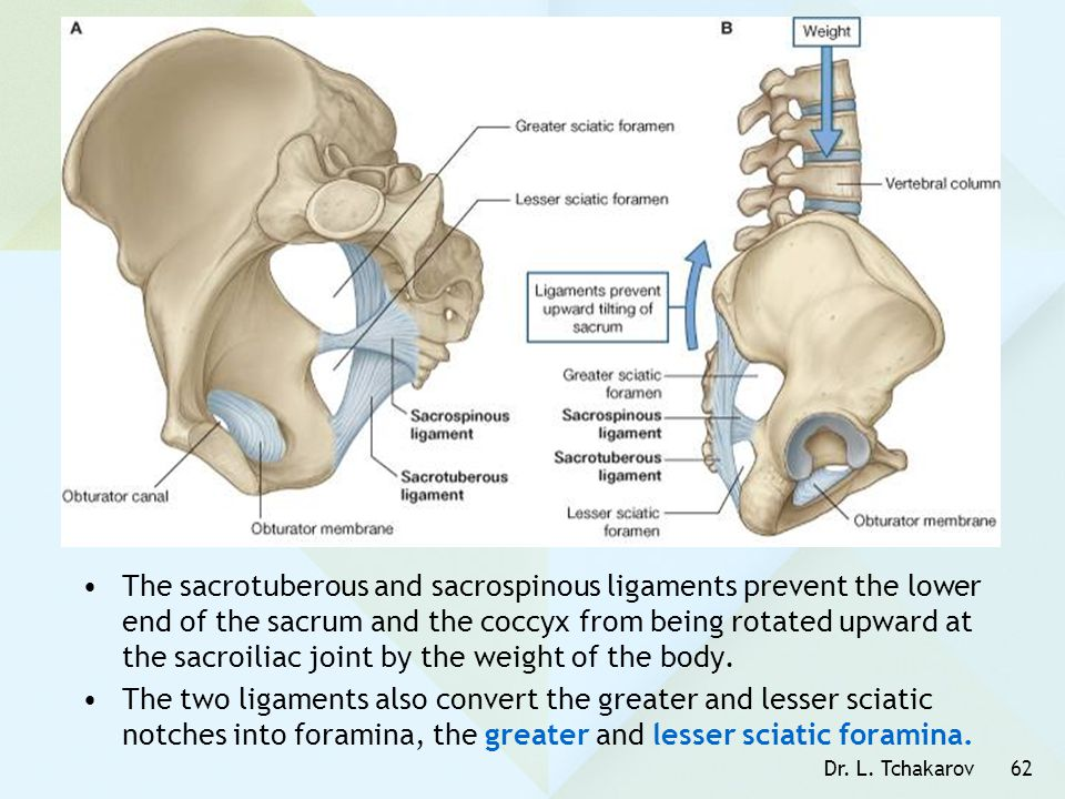 The sacrotuberous and sacrospinous ligaments prevent the lower end of the sacrum and the coccyx from being rotated upward at the sacroiliac joint by the weight of the body.