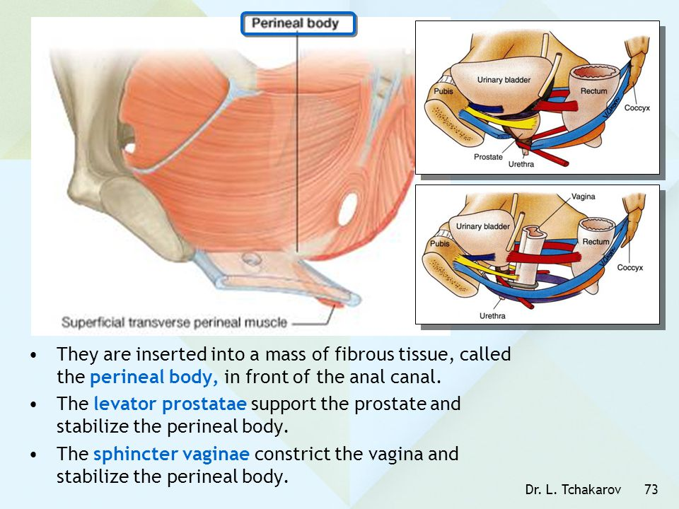 They are inserted into a mass of fibrous tissue, called the perineal body, in front of the anal canal.