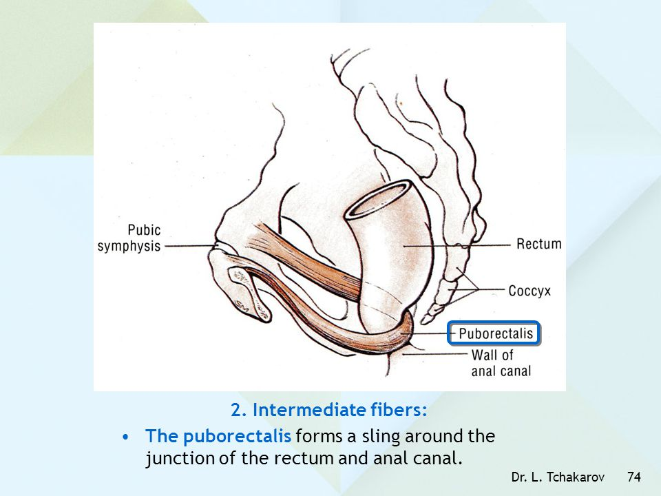2. Intermediate fibers: The puborectalis forms a sling around the junction of the rectum and anal canal.