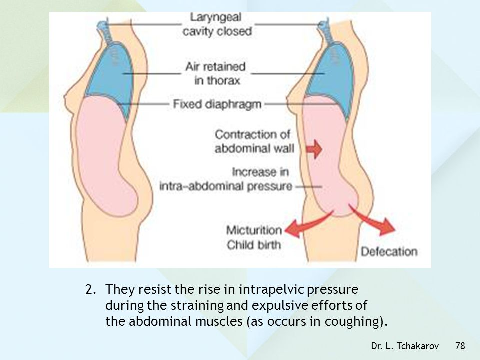 They resist the rise in intrapelvic pressure during the straining and expulsive efforts of the abdominal muscles (as occurs in coughing).