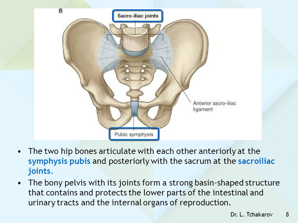 The two hip bones articulate with each other anteriorly at the symphysis pubis and posteriorly with the sacrum at the sacroiliac joints.