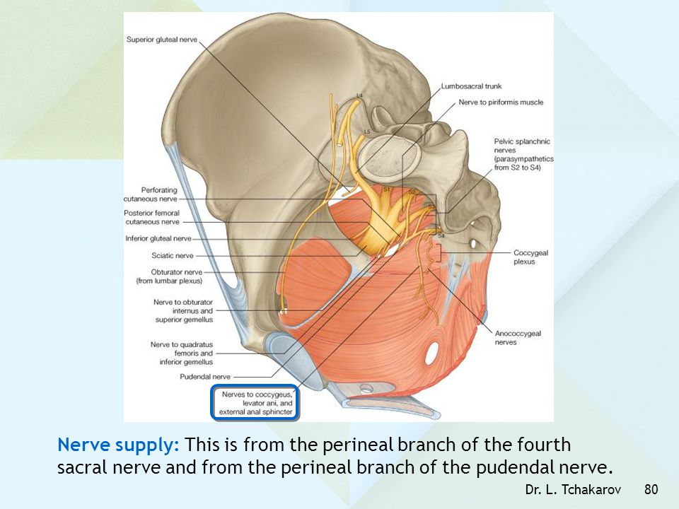 Nerve supply: This is from the perineal branch of the fourth sacral nerve and from the perineal branch of the pudendal nerve.