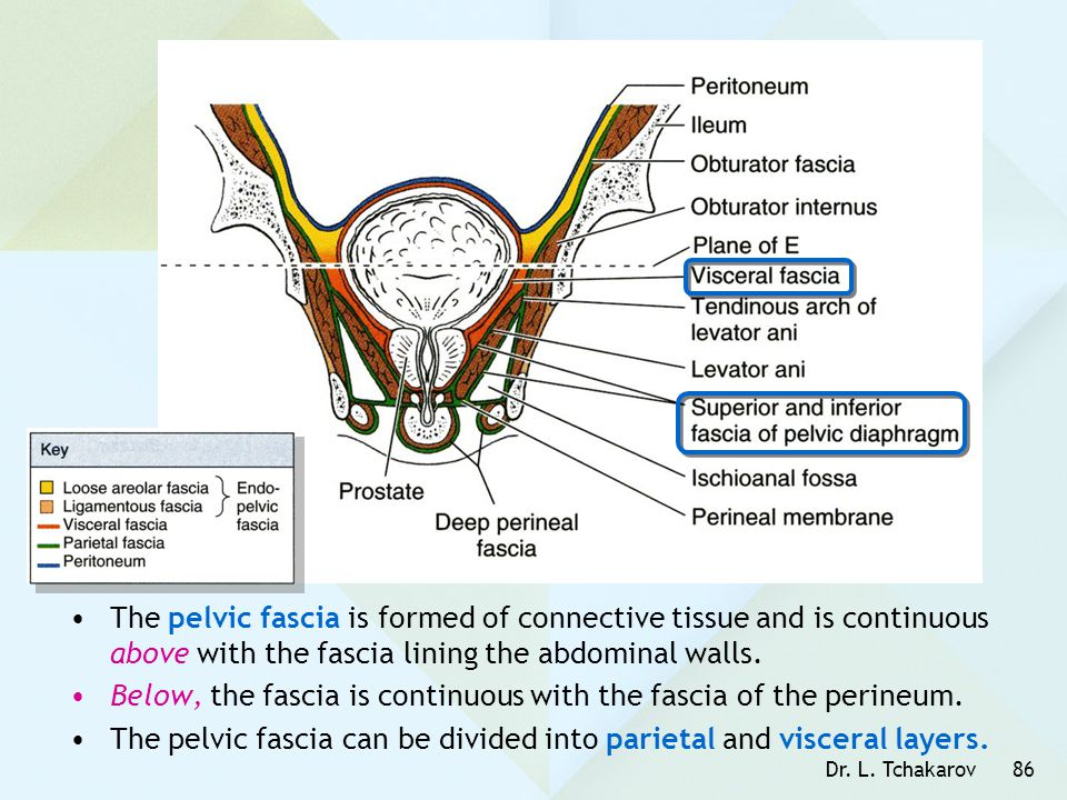 Below, the fascia is continuous with the fascia of the perineum.