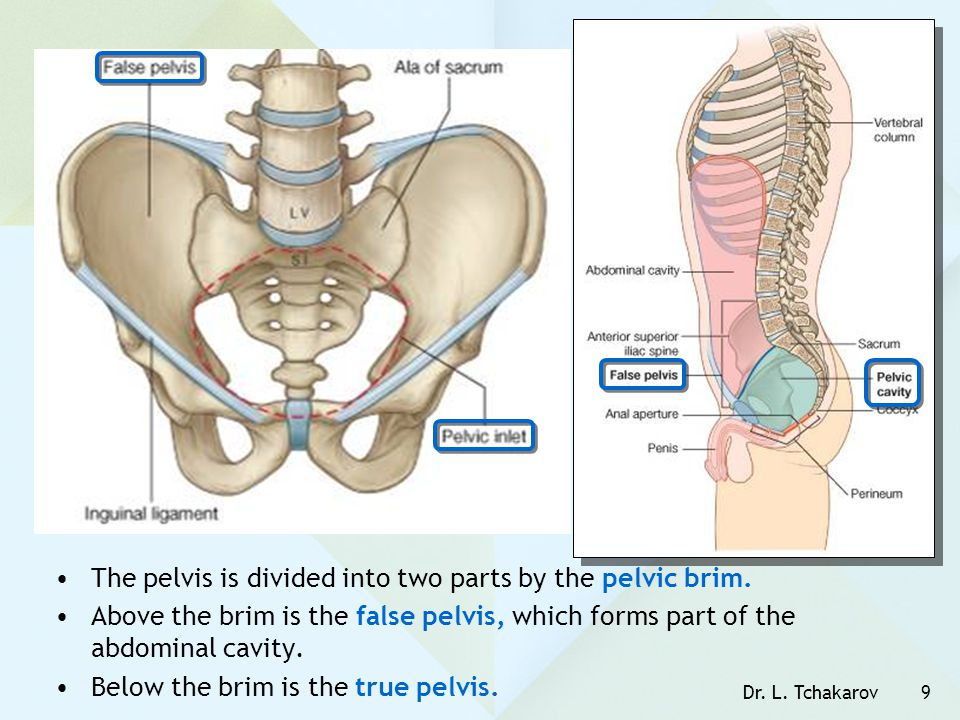 The pelvis is divided into two parts by the pelvic brim.