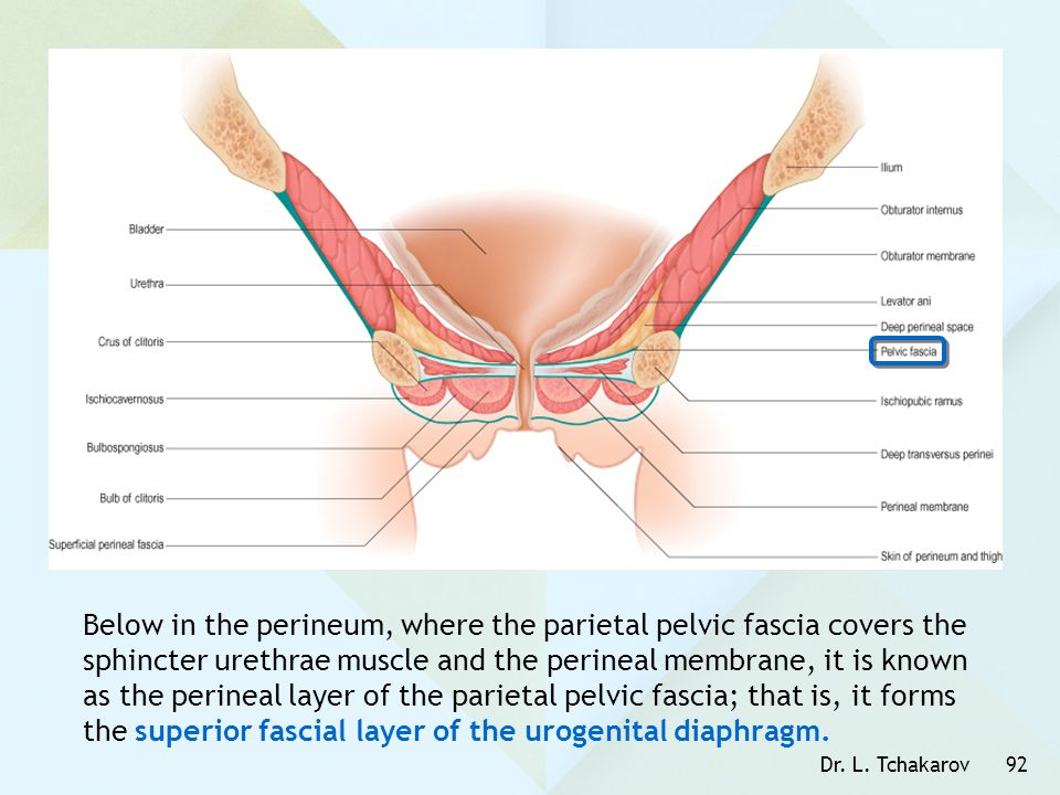Below in the perineum, where the parietal pelvic fascia covers the sphincter urethrae muscle and the perineal membrane, it is known as the perineal layer of the parietal pelvic fascia; that is, it forms the superior fascial layer of the urogenital diaphragm.