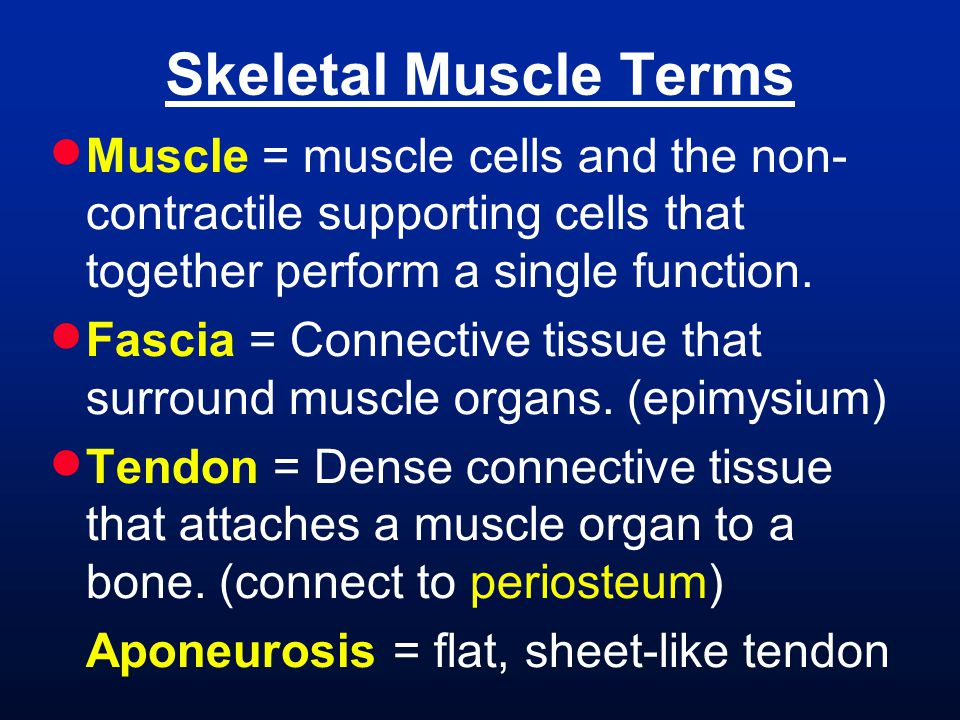 Skeletal Muscle Terms Muscle = muscle cells and the non-contractile supporting cells that together perform a single function.