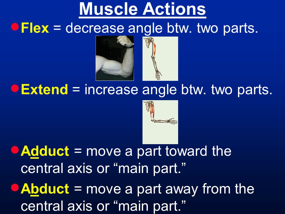 Muscle Actions Flex = decrease angle btw. two parts.