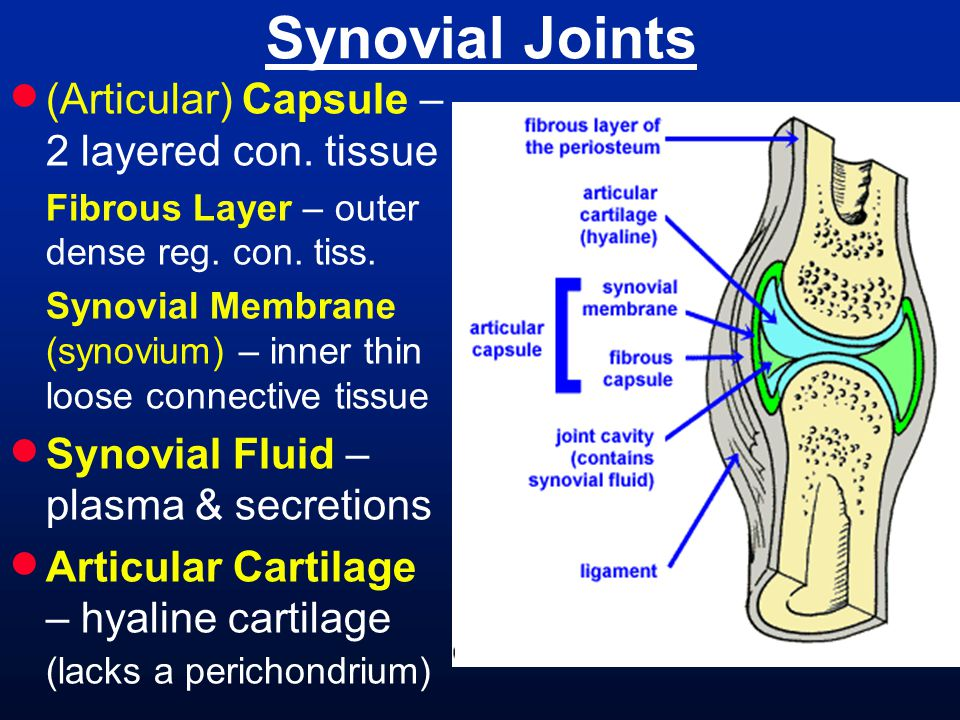 Synovial Joints (Articular) Capsule – 2 layered con. tissue