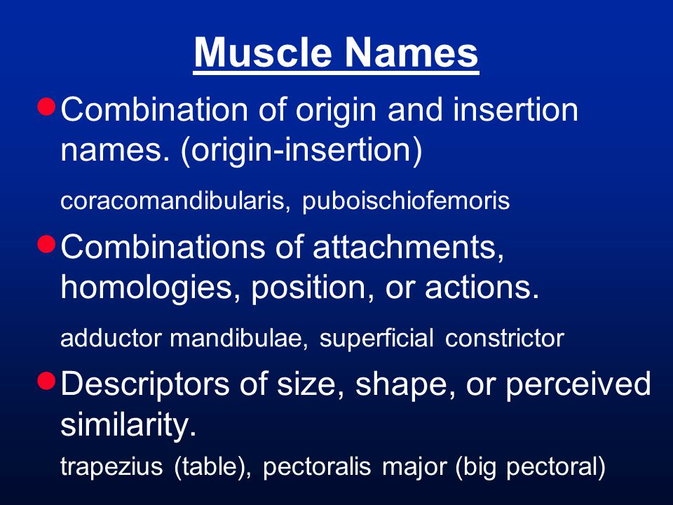 Muscle Names Combination of origin and insertion names. (origin-insertion) coracomandibularis, puboischiofemoris.