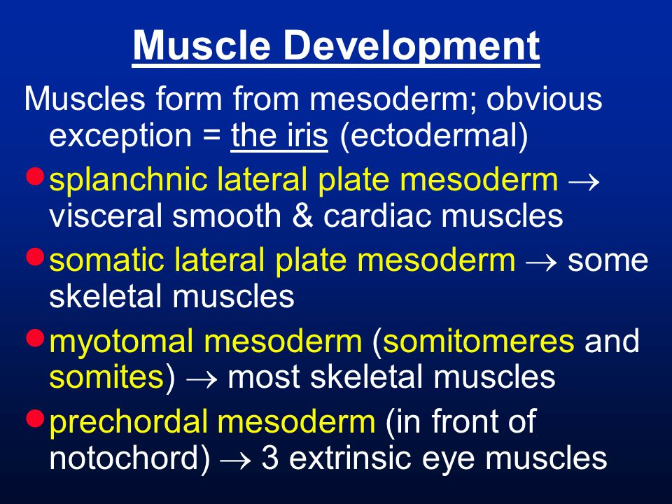 Muscle Development Muscles form from mesoderm; obvious exception = the iris (ectodermal)
