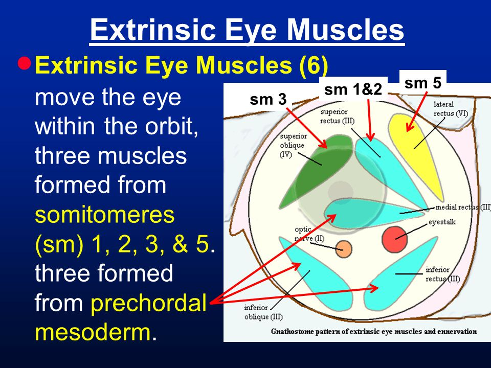 Extrinsic Eye Muscles Extrinsic Eye Muscles (6)