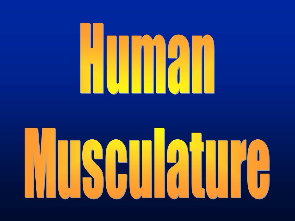 Human Musculature