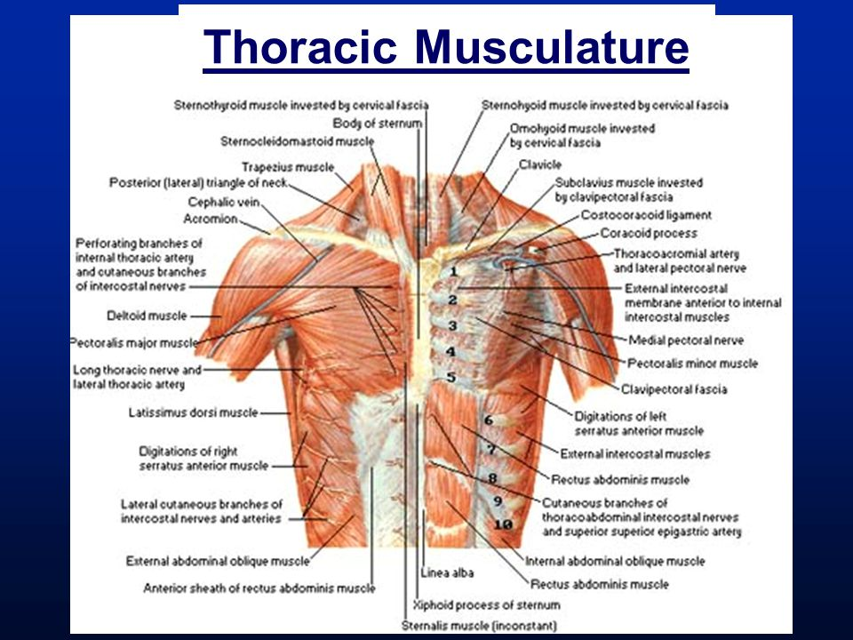 Thoracic Musculature