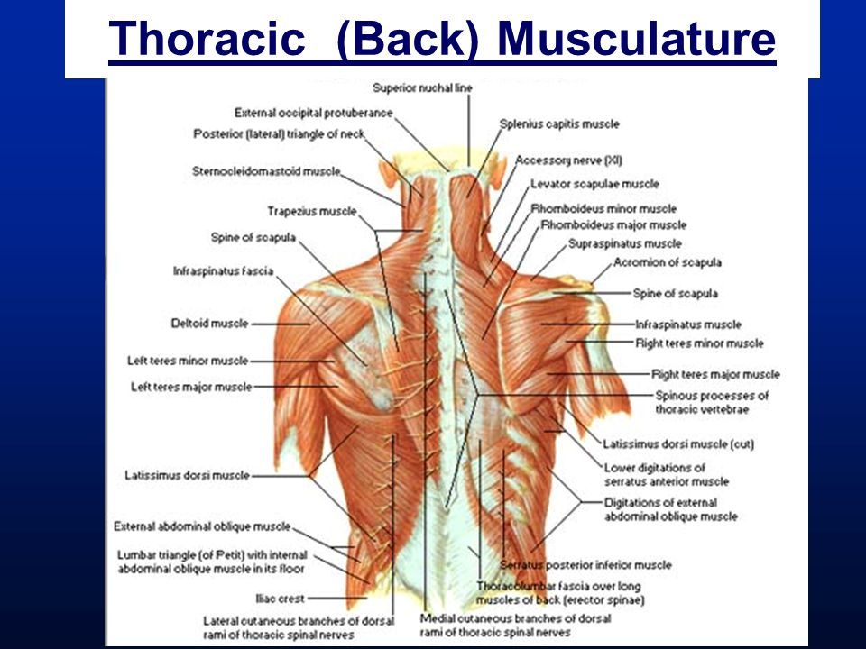 Thoracic (Back) Musculature