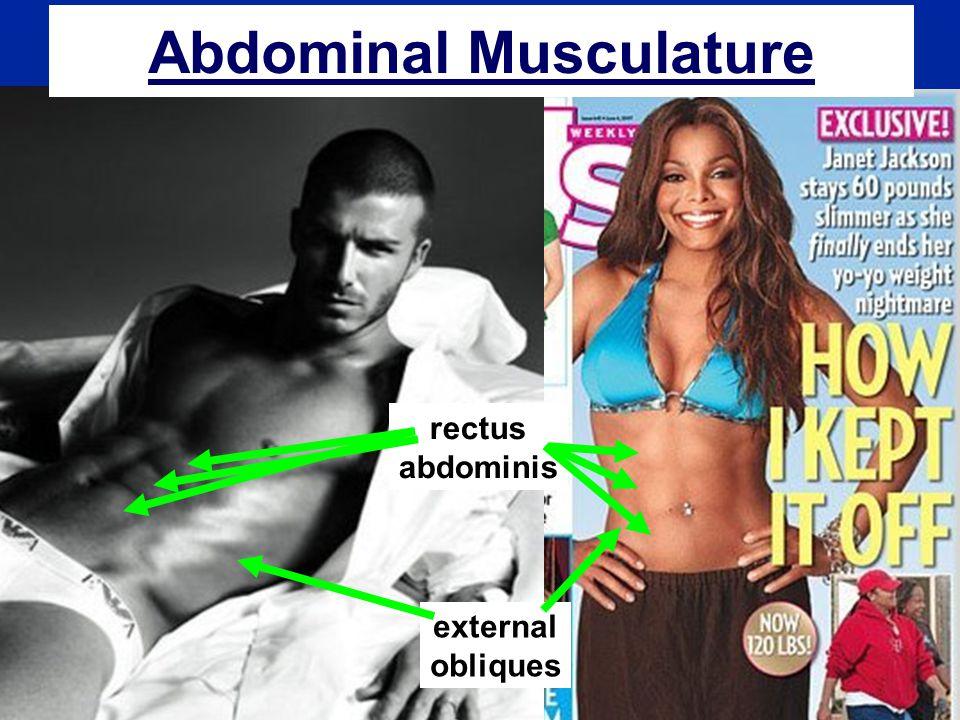 Abdominal Musculature