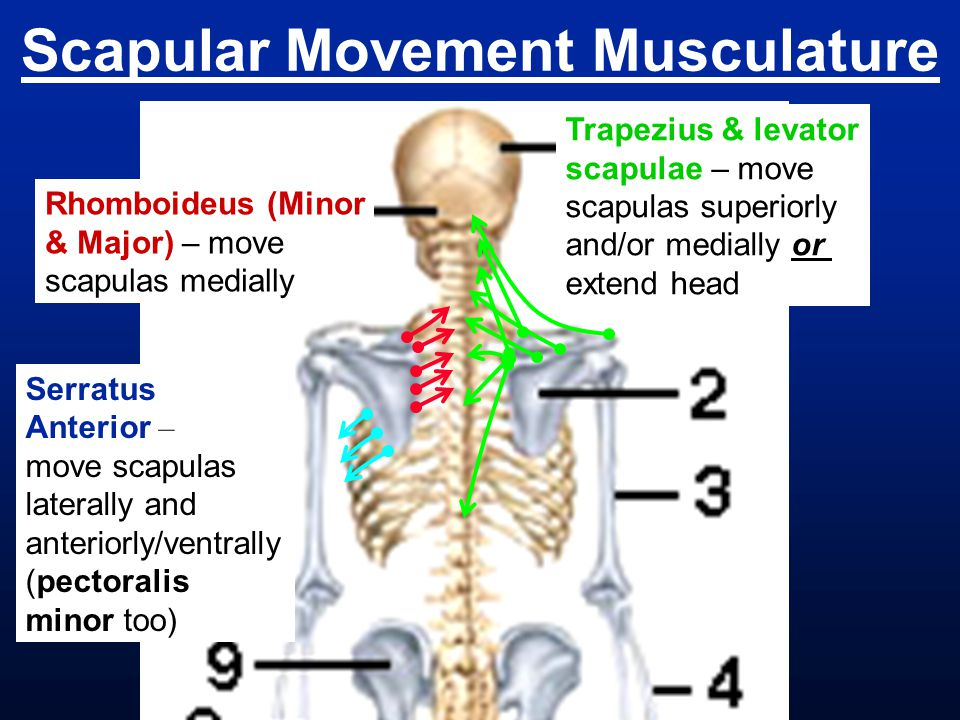 Scapular Movement Musculature