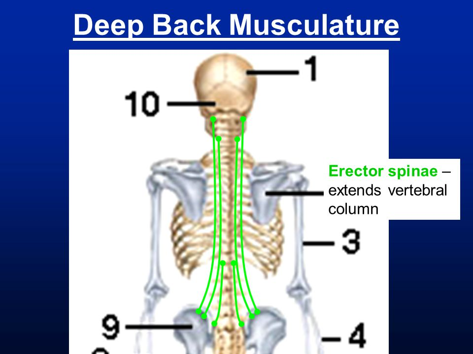 Deep Back Musculature Erector spinae – extends vertebral column