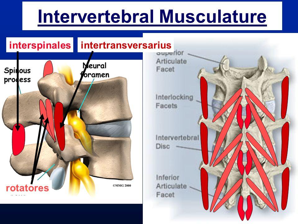 Intervertebral Musculature