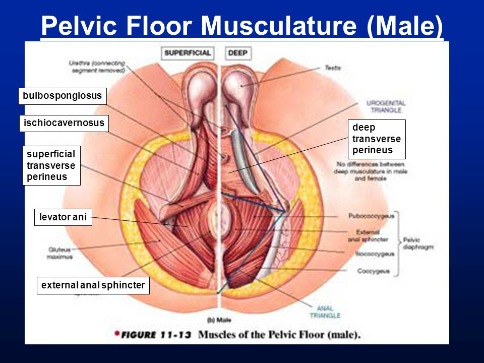 Pelvic Floor Musculature (Male)