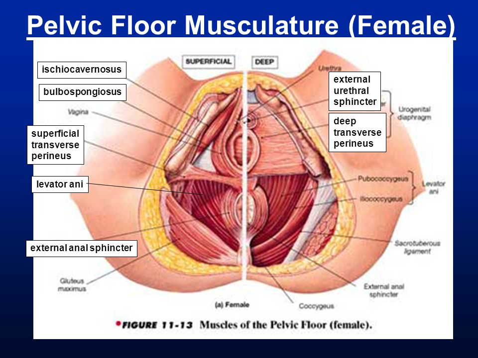 Pelvic Floor Musculature (Female)
