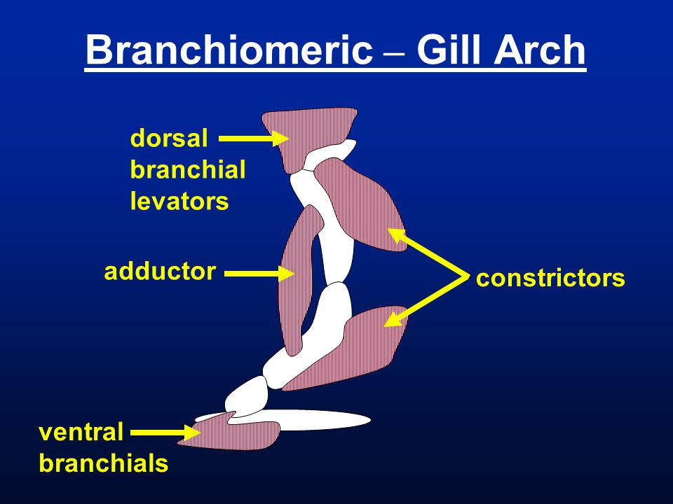 Branchiomeric – Gill Arch