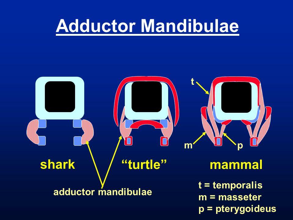 Adductor Mandibulae shark turtle mammal t m p adductor mandibulae