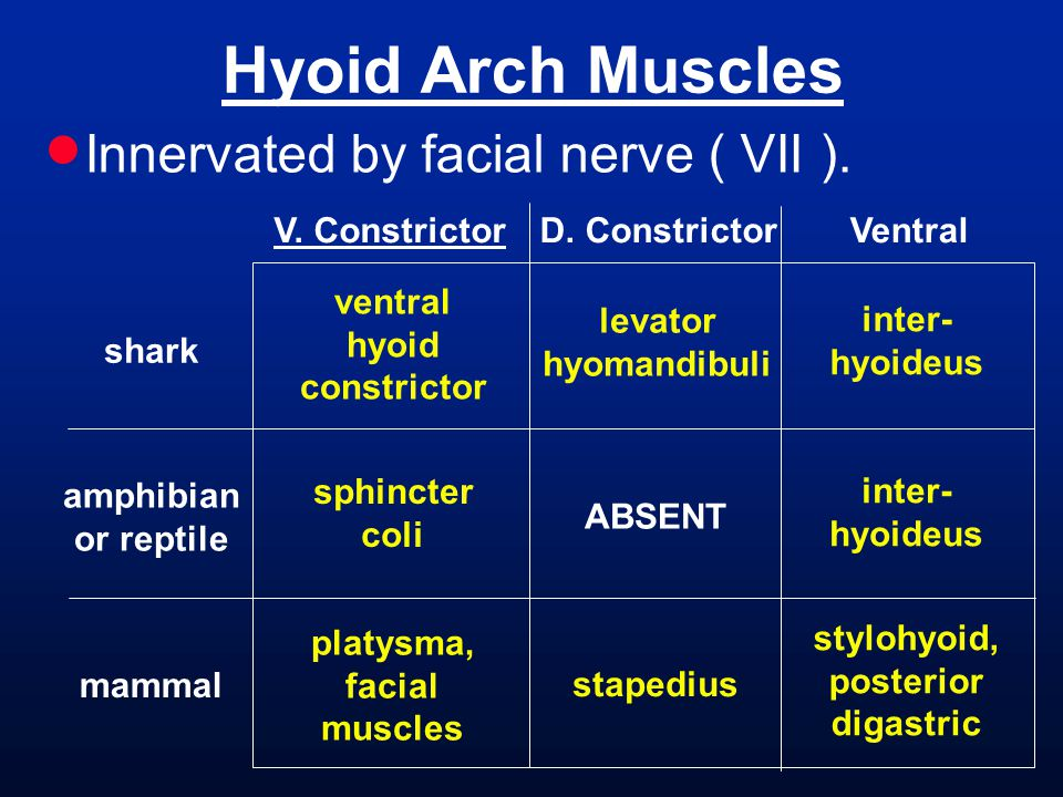 Hyoid Arch Muscles Innervated by facial nerve ( VII ). V. Constrictor