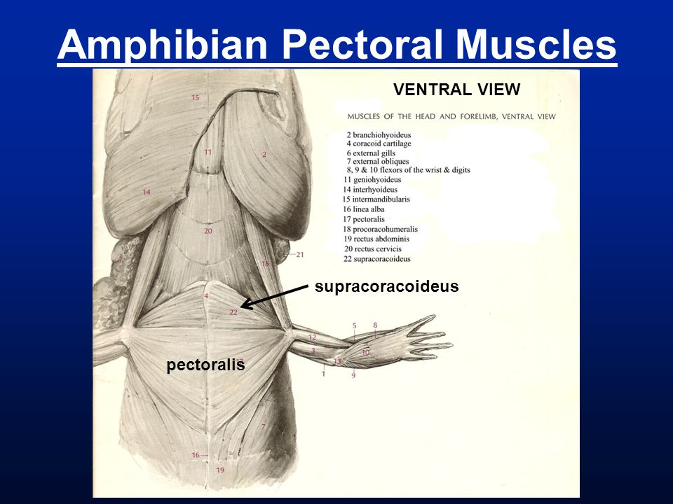 Amphibian Pectoral Muscles