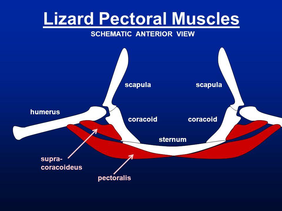 Lizard Pectoral Muscles