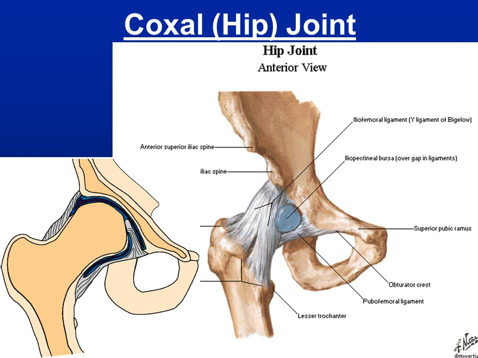 Coxal (Hip) Joint