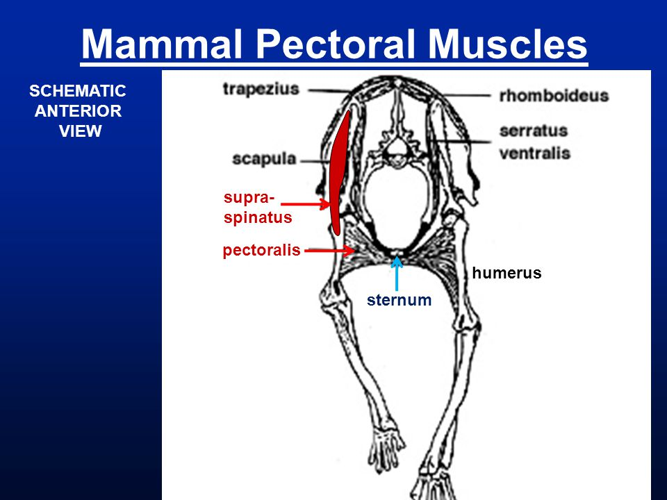 Mammal Pectoral Muscles