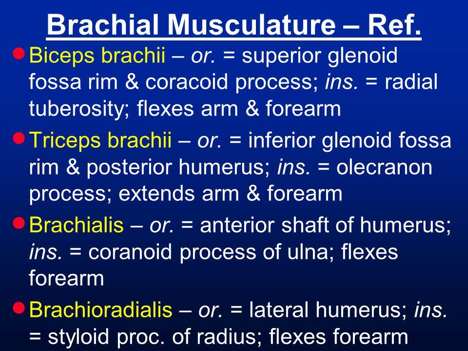 Brachial Musculature – Ref.