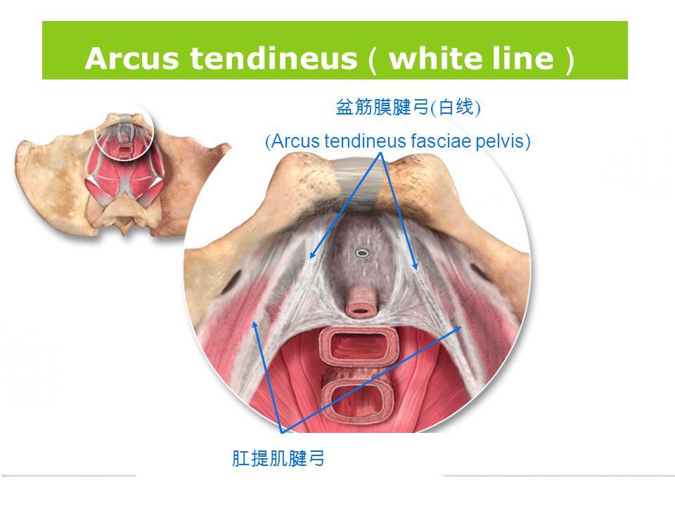 Arcus tendineus(white line)
