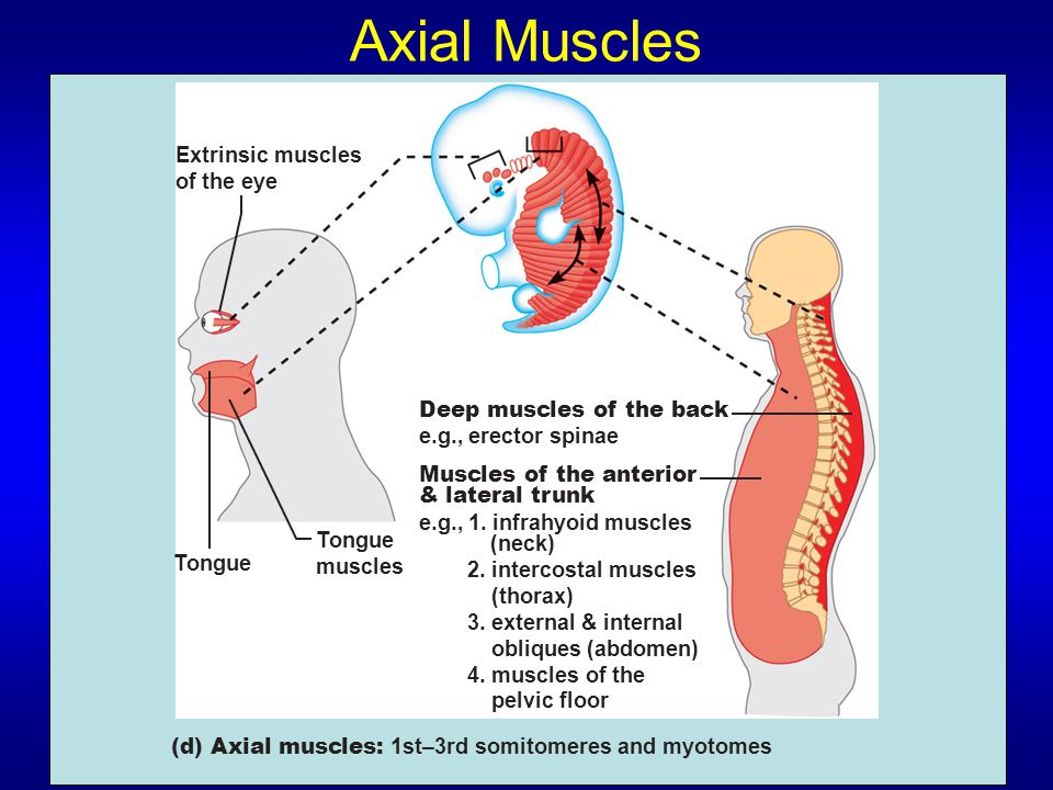 Axial Muscles Extrinsic muscles of the eye Deep muscles of the back