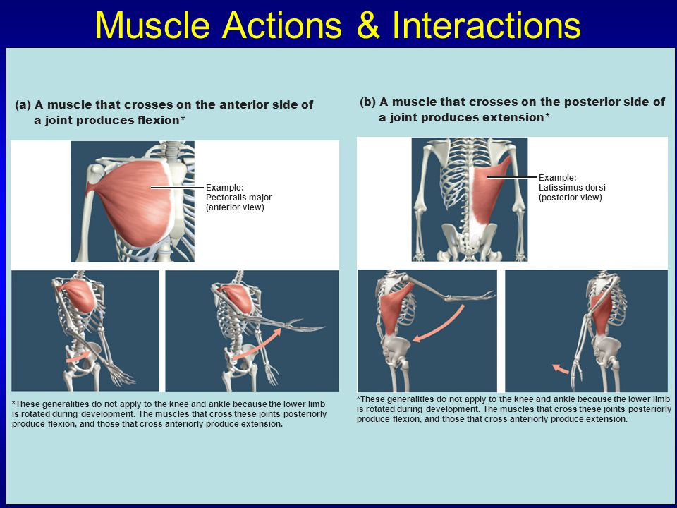 Muscle Actions & Interactions