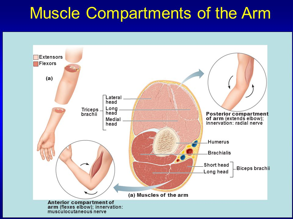 Muscle Compartments of the Arm