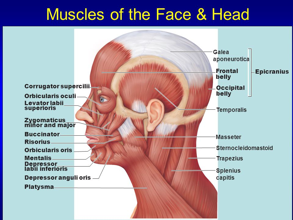 Muscles of the Face & Head