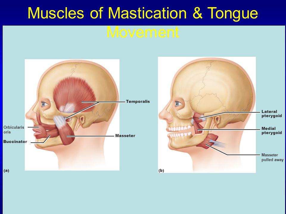 Muscles of Mastication & Tongue Movement