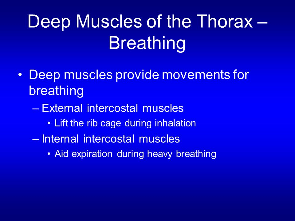 Deep Muscles of the Thorax –Breathing