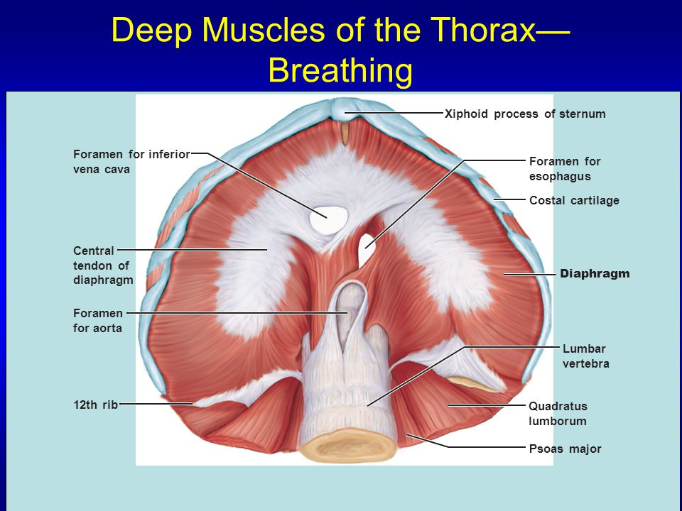Deep Muscles of the Thorax—Breathing