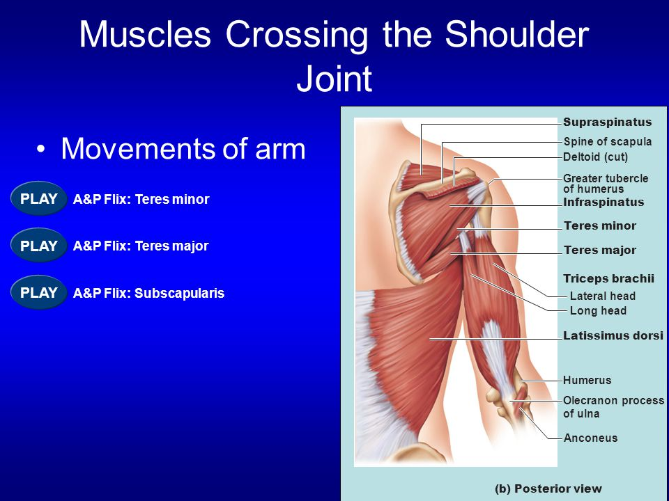 Muscles Crossing the Shoulder Joint